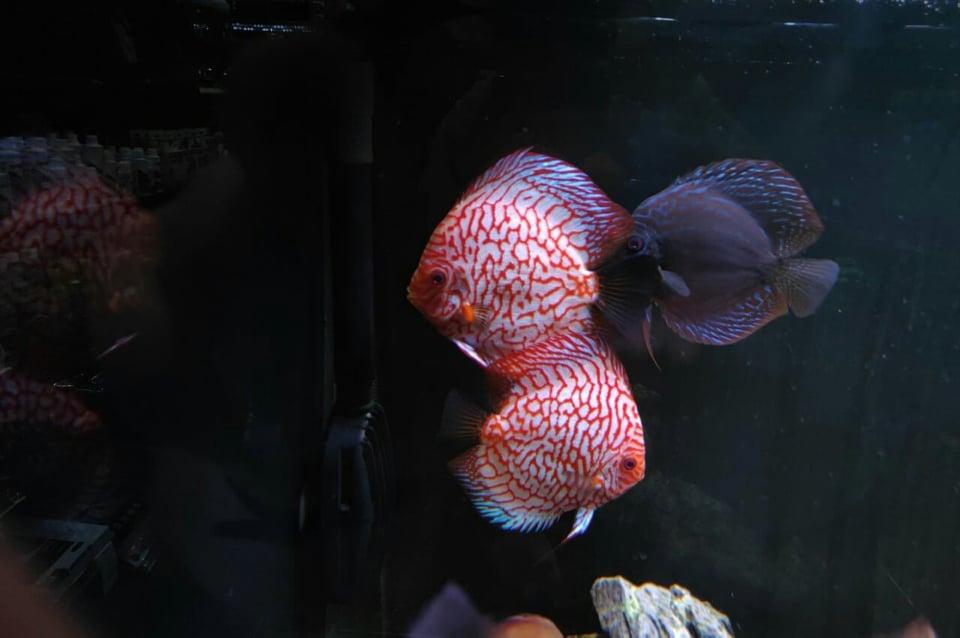 Дискуси рибки