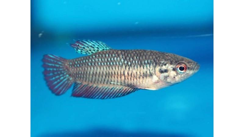 Женска рибка Бета