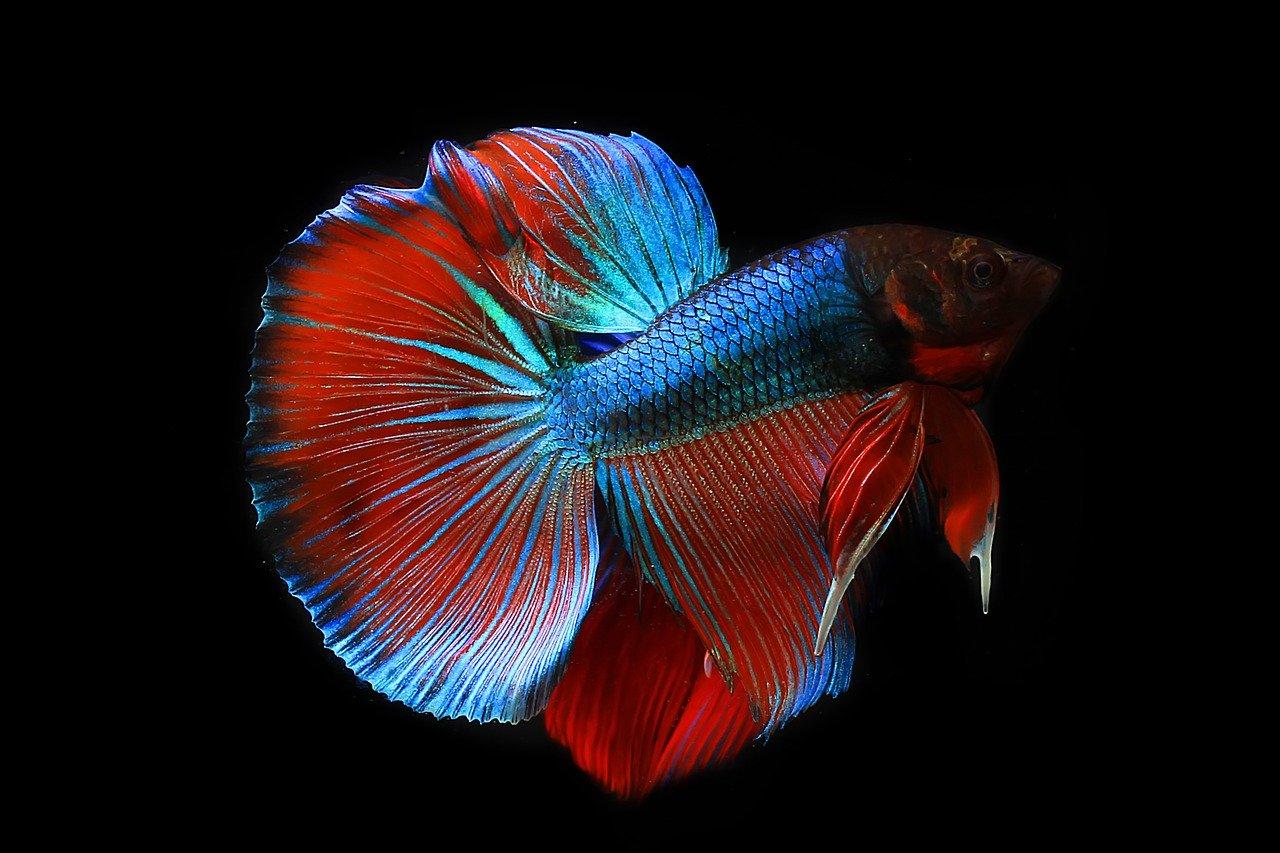 Bettas fish