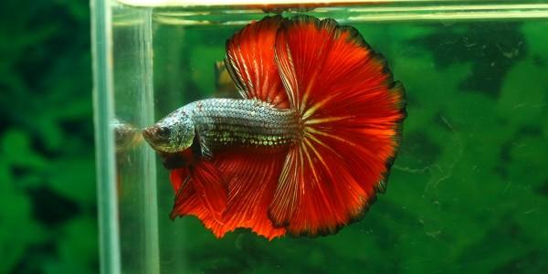 Bettas - Some of the most beautiful aquarium fish