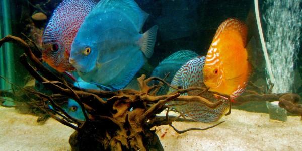 Дискуси – любими рибки на много акваристи