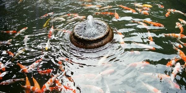 Какви рибки да сложим в градинското езеро?