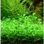 Глосостигма (Glossostigma elatinoides)
