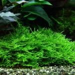 Spiky moss (Taxiphyllum sp.)
