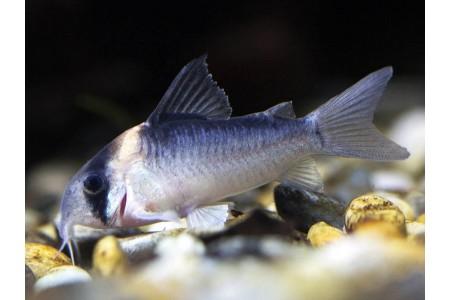 Adolfo's catfish