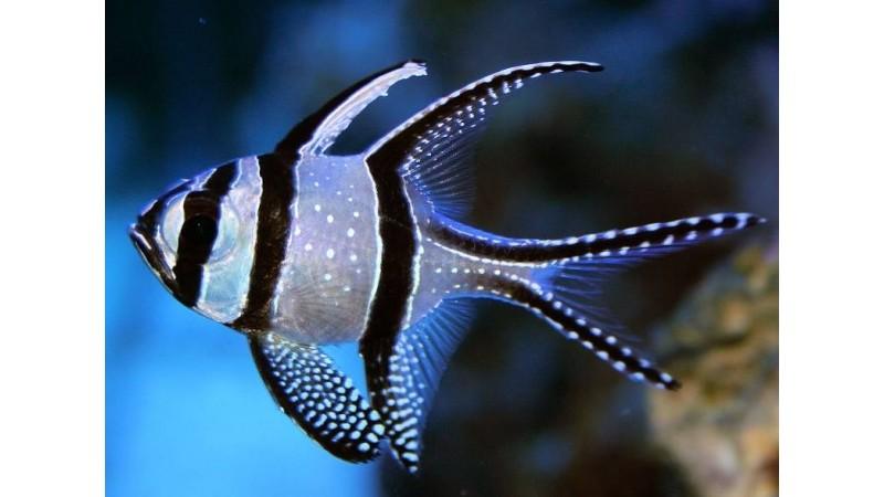 Индонезийска риба кардинал Pterapogon kauderni