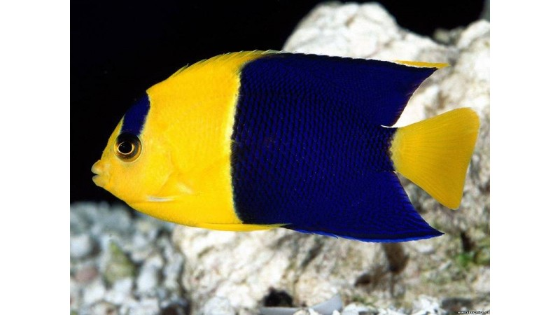 Риба ангел Centropyge bicolor