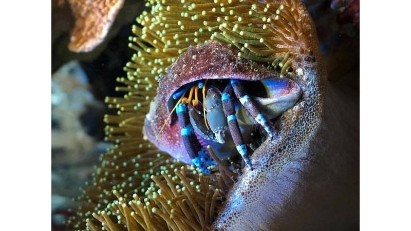 Морски рак Clibanarius tricolor