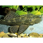 Анциструс - Bristlenose Catfish