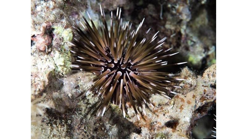 Burrowing urchin