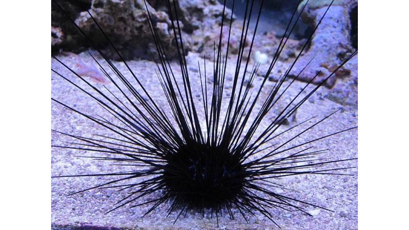 Diadema urchin