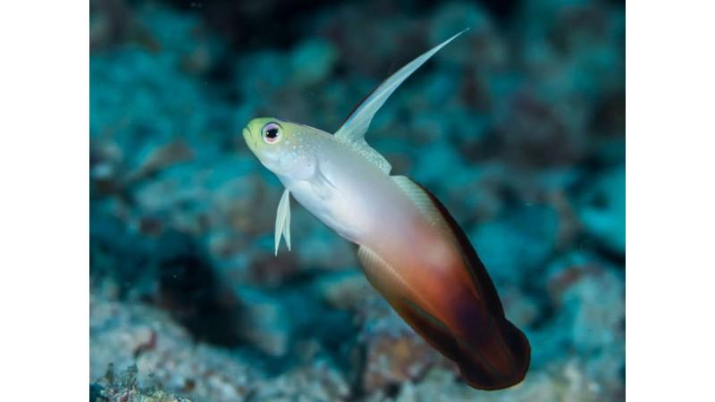 Рибка Nemateleotris magnifica