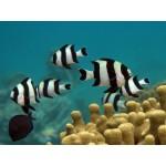 Four stripe damselfish
