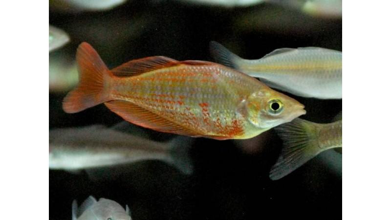 Glossolepis dorityi Rainbowfish