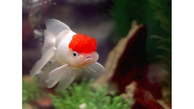 Златна рибка - Малинова шапка