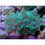 Green and Orange Bubble tip Anemone