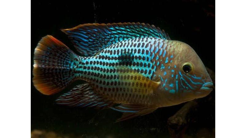 Риба Aequidens rivulatus