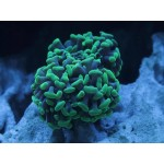 Hammer corals