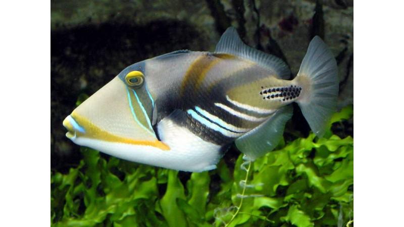 Humu Picasso Triggerfish