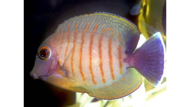 Indian Ocean Mimic Surgeonfish
