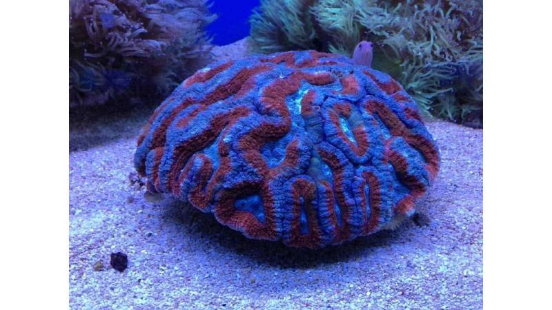 Lobed Brain coral