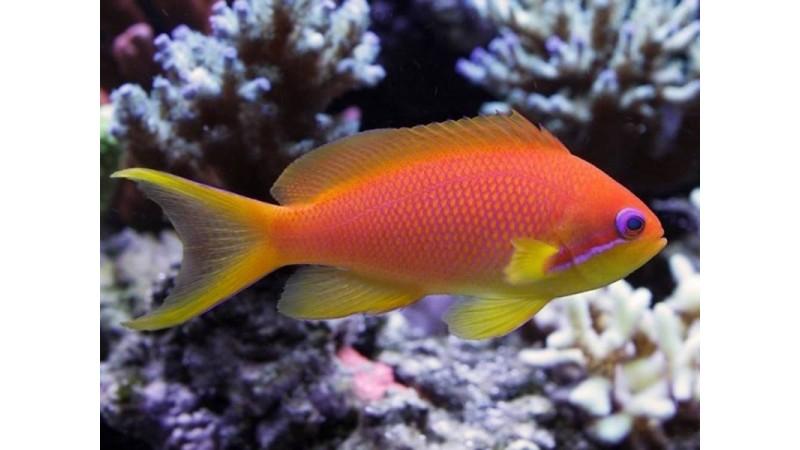 Lyretail coralfish
