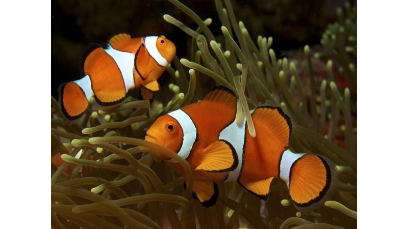 Риба клоун Amphiprion ocellaris