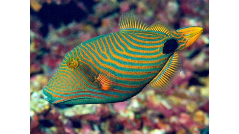 Рибка Balistapus undulatus
