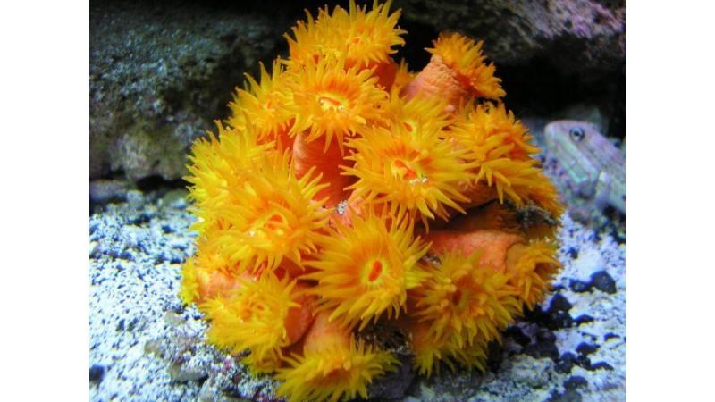 Orange sun coral Tubastraea coccinea