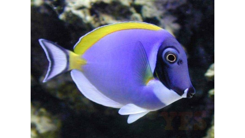 Powder blue surgeonfish