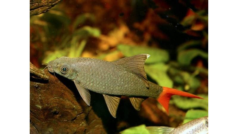 Лабео Epalzeorhynchos bicolor