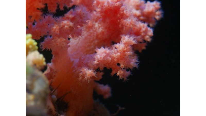 Strawberry Coral