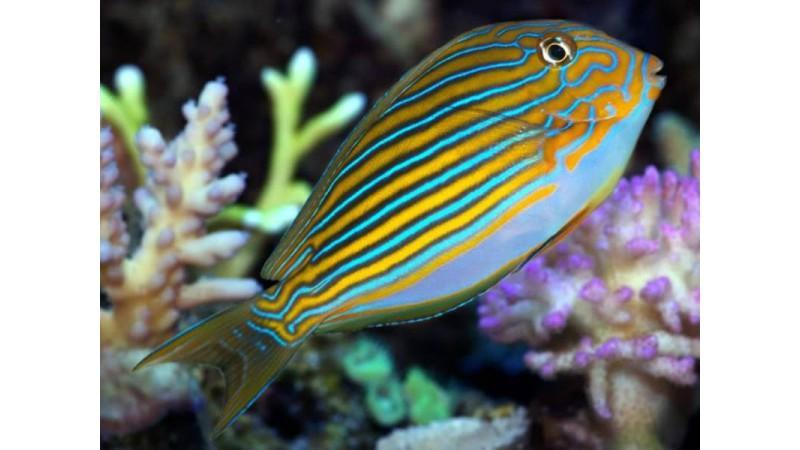 Stripe Surgeonfish
