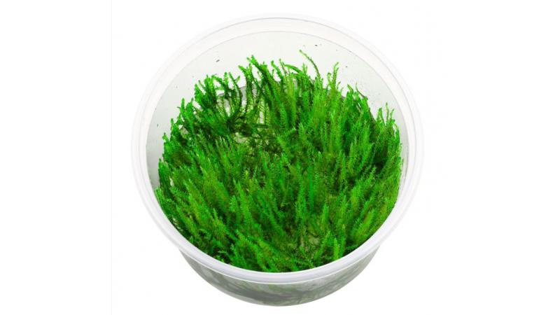 Erect moss (Taxiphyllum sp.)