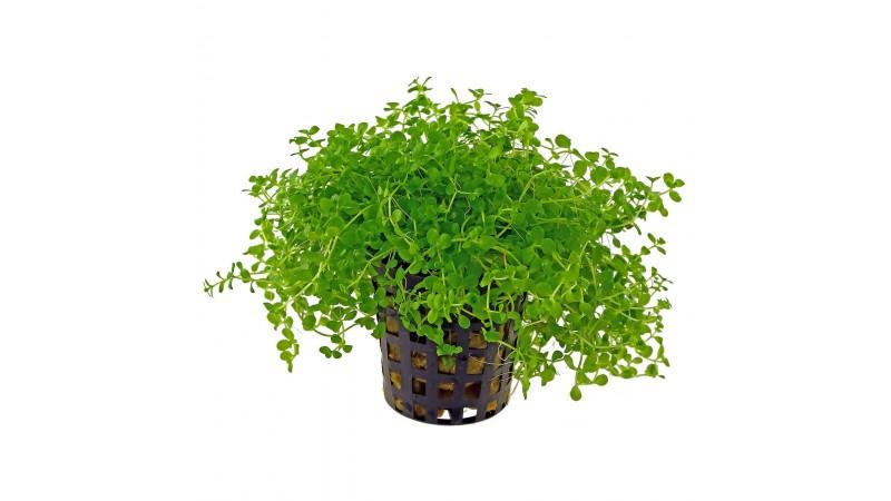 Микрантемум (Micranthemum sp.)