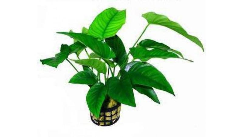 Анубиас (Anubias heterophylla)